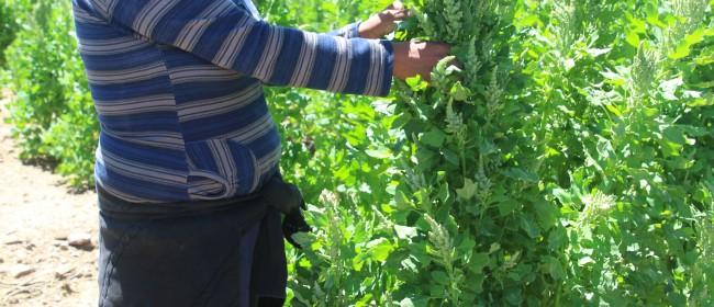 Day 40 – 40 years of quinoa development